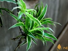 家里吸烟放什么植物 什么植物吸烟味最佳