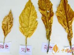 影响烟叶成熟度的因素 四大提高烟叶成熟度的途径