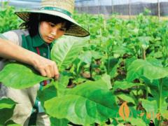 烟叶种植技术有什么方法 最全的烟叶种植过程24节气歌